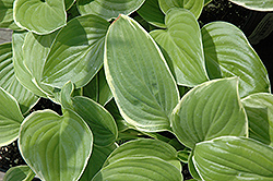 Frozen Margarita Hosta (Hosta 'Frozen Margarita') at Alsip Home and Nursery