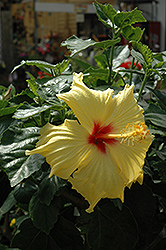 Hula Girl Hibiscus (Hibiscus rosa-sinensis 'Hula Girl') at Alsip Home and Nursery
