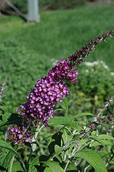 Buzz Pink Purple Butterfly Bush (Buddleia 'Buzz Pink Purple') at Alsip Home and Nursery