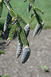 Gowdy Oriental Spruce (Picea orientalis 'Gowdy') at Alsip Home and Nursery