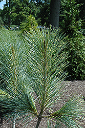 Zebrina Himalayan Pine (Pinus wallichiana 'Zebrina') at Alsip Home and Nursery