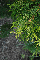 Canadian Gold Red Cedar (Thuja plicata 'Canadian Gold') at Alsip Home and Nursery