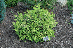 Vintage Gold Dwarf Moss Falsecypress (Chamaecyparis pisifera 'Vintage Gold') at Alsip Home and Nursery