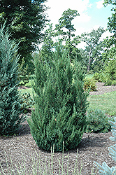 Blue Point Juniper (Juniperus chinensis 'Blue Point') at Alsip Home and Nursery