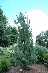 Columnar White Pine (Pinus strobus 'Fastigiata') at Alsip Home and Nursery