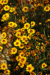 Prairie Gold Tickseed (Coreopsis 'Prairie Gold') at Alsip Home and Nursery