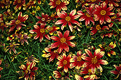 Route 66 Tickseed (Coreopsis verticillata 'Route 66') at Alsip Home and Nursery