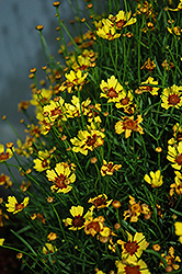 Pineapple Pie Tickseed (Coreopsis 'Pineapple Pie') at Alsip Home and Nursery