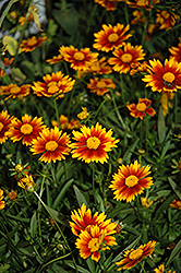 Lil' Bang™ Daybreak Tickseed (Coreopsis 'Daybreak') at Alsip Home and Nursery