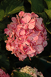 Peppermint Swirl Hydrangea (Hydrangea macrophylla 'Dancing Angel') at Alsip Home and Nursery