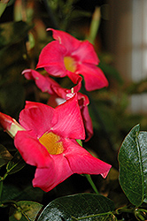 Rio Pink Mandevilla (Mandevilla 'Rio Pink') at Alsip Home and Nursery