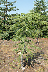 Beacon Hill Cedar of Lebanon (Cedrus libani 'Beacon Hill') at Alsip Home and Nursery