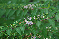 Issai Beautyberry (Callicarpa dichotoma 'Issai') at Alsip Home and Nursery