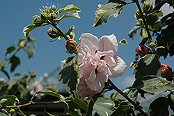 Miss Jilene Rose of Sharon (Hibiscus syriacus 'Hillis Variegated') at Alsip Home and Nursery