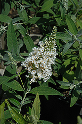 White Feather Butterfly Bush (Buddleia davidii 'White Feather') at Alsip Home and Nursery