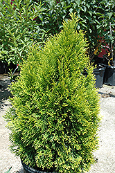 Highlights Arborvitae (Thuja occidentalis 'Janed Gold') at Alsip Home and Nursery