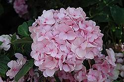 All Summer Beauty Hydrangea (Hydrangea macrophylla 'All Summer Beauty') at Alsip Home and Nursery