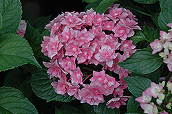Expression Hydrangea (Hydrangea macrophylla 'Rie 06') at Alsip Home and Nursery