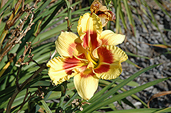 New Clown Face Daylily (Hemerocallis 'New Clown Face') at Alsip Home and Nursery