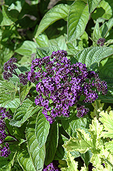 Marine Heliotrope (Heliotropium arborescens 'Marine') at Alsip Home and Nursery