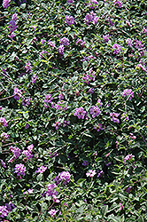 Purple Trailing Lantana (Lantana montevidensis) at Alsip Home and Nursery