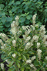 Hummingbird Summersweet (Clethra alnifolia 'Hummingbird') at Alsip Home and Nursery