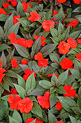 Divine™ Orange Bronze Leaf New Guinea Impatiens (Impatiens hawkeri 'Divine Orange Bronze Leaf') at Alsip Home and Nursery