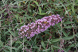 Flutterby Flow® Lavender Butterfly Bush (Buddleia davidii 'Podaras 12') at Alsip Home and Nursery