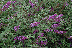 Flutterby Petite® Dark Pink Butterfly Bush (Buddleia davidii 'Podaras 10') at Alsip Home and Nursery