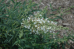 Flutterby Petite® Snow White Butterfly Bush (Buddleia davidii 'Podaras 15') at Alsip Home and Nursery