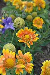 Mesa Peach Blanket Flower (Gaillardia x grandiflora 'Mesa Peach') at Alsip Home and Nursery
