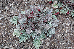 Kira Rockies Coral Bells (Heuchera 'Kira Rockies') at Alsip Home and Nursery