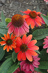 Sombrero® Hot Coral Coneflower (Echinacea 'Balsomcor') at Alsip Home and Nursery