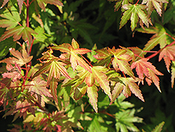 Coonara Pygmy Japanese Maple (Acer palmatum 'Coonara Pygmy') at Alsip Home and Nursery