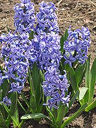 Blue Jacket Hyacinth (Hyacinthus orientalis 'Blue Jacket') at Alsip Home and Nursery