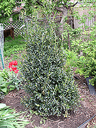 Golden Girl Meserve Holly (Ilex x meserveae 'Mesgolg') at Alsip Home and Nursery