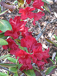 Sumatra Rhododendron (Rhododendron 'Sumatra') at Alsip Home and Nursery