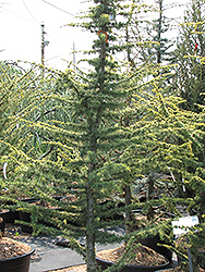 Golden Atlas Cedar (Cedrus atlantica 'Aurea') at Alsip Home and Nursery