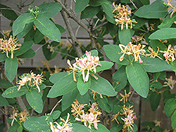 Belgica Honeysuckle (Lonicera periclymenum 'Belgica') at Alsip Home and Nursery