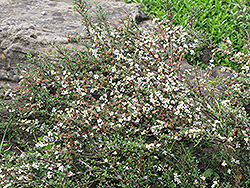 Thyme Leaf Cotoneaster (Cotoneaster microphyllus 'var. thymifolius') at Alsip Home and Nursery