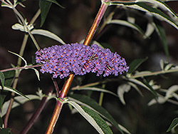 Ellens Blue Butterfly Bush (Buddleia davidii 'Ellen's Blue') at Alsip Home and Nursery