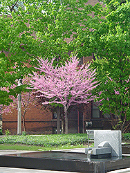Eastern Redbud (tree form) (Cercis canadensis '(tree form)') at Alsip Home and Nursery