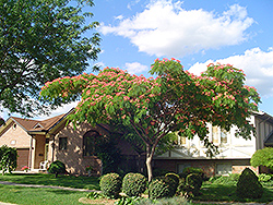 Mimosa (Albizia julibrissin) at Alsip Home and Nursery