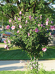 Aphrodite Rose of Sharon (Hibiscus syriacus 'Aphrodite') at Alsip Home and Nursery