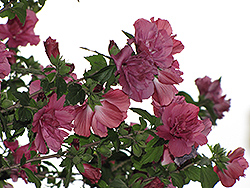Collie Mullins Rose Of Sharon (Hibiscus syriacus 'Collie Mullins') at Alsip Home and Nursery