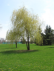 Annularis Babylon Weeping Willow (Salix babylonica 'Annularis') at Alsip Home and Nursery