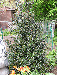 Blue Maid Meserve Holly (Ilex x meserveae 'Mesid') at Alsip Home and Nursery