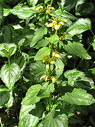 Yellow Archangel (Lamiastrum galeobdolon) at Alsip Home and Nursery