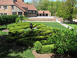 Compact Korean Boxwood (Buxus microphylla 'Compacta') at Alsip Home and Nursery