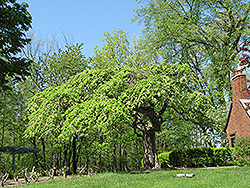 Camperdown Elm (Ulmus glabra 'Camperdown') at Alsip Home and Nursery